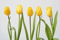 Row tulip Royalty Free Stock Image