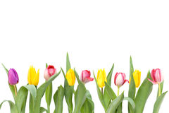Row of tulips Royalty Free Stock Image