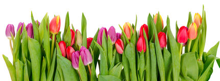 Row of tulips. Row of colorful tulips isolated on white Royalty Free Stock Images