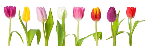 Row of tulips border isolated Royalty Free Stock Photography