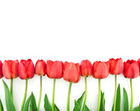 Row of tulips isolated on white background with space for text. Row of tulips isolated on white background with space for message. Mother's Day background Stock Photography