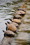 Row of turtles Royalty Free Stock Photography