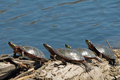 Row of turtles basking in the sun Royalty Free Stock Photo