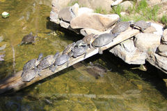 A row of turtles on a wooden plank Royalty Free Stock Photo