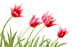 Row variegated tulips Royalty Free Stock Photography