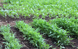 Row of vegetable. Row of green vegetable in farm ,Laos Royalty Free Stock Image