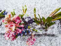 Row of vibrant purple and pink hyacinth flowers covered with sno Stock Images