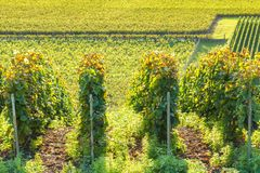 Row vine grape in champagne vineyards. At montagne de reims countryside village background, France royalty free stock photography