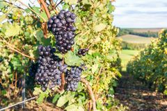 Row vine grape in champagne vineyards at montagne de reims countryside village background. France Stock Image
