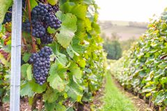 Row vine grape in champagne vineyards at montagne de reims. France royalty free stock photos