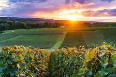 Row vine grape in champagne vineyards at montagne de reims. France royalty free stock photography