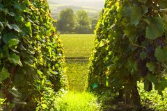 Row vine grape in champagne vineyards at montagne de reims. France royalty free stock images