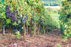 Row vine grape in champagne vineyards at montagne de reims. France stock images