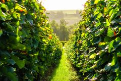 Row vine grape in champagne vineyards at montagne de reims. France stock photography