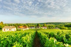 Row vine green grape in champagne vineyards at montagne de reims on countryside village background. France royalty free stock photo
