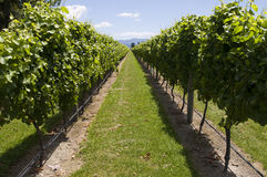 Row of vines Stock Image