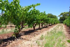 Row of Vines Stock Photo
