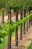 Row of Vines & Trellis Posts Stock Photos