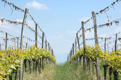 A row in the vineyard Royalty Free Stock Images