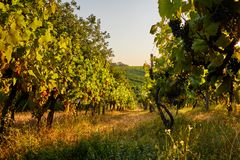 Row of vineyards on a summer day. View of a row of vineyards on a summer day stock photography