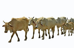 Row of walking cow masses Stock Image