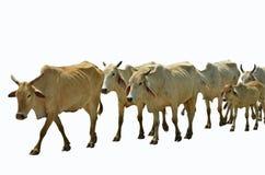 Row of walking cow masses. On white background Stock Image