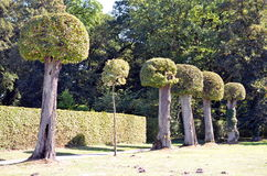 Row of well cutted boxwood trees in the park royalty free stock images