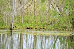 Row of whistling ducks Stock Photography