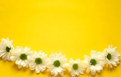A row of white daisies on a yellow background. royalty free stock image