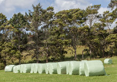 The row of white plastic wrapped silage on green farm in harvest Stock Image
