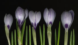 Row of white and purple crocus flowers. On black background Royalty Free Stock Photos