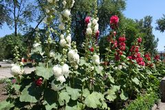 Row of white and red double-flowered hollyhock in bloom. Row of white and red double flowered hollyhock in bloom royalty free stock image