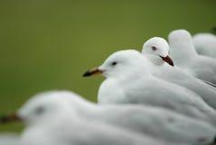 Row of white seagulls Royalty Free Stock Photos