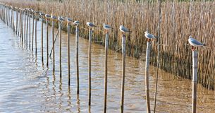 A row of white seagulls sitting on a bamboo Royalty Free Stock Photo
