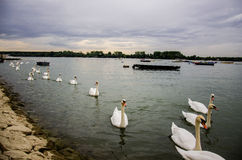 Row of white swans on the river Stock Image