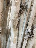 A row of white tree trunks Stock Image