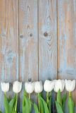Row of white tulips on a blue grey knotted old wooden background with empty space layout Royalty Free Stock Images