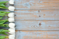 Row of white tulips on a blue grey knotted old wooden background with empty space layout Stock Image