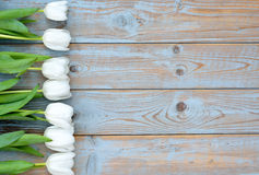 Row of white tulips on a blue grey knotted old wooden background with empty space layout Royalty Free Stock Image