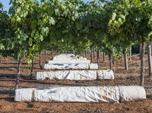 Row of White Vine Covers Under Vines. Royalty Free Stock Photography