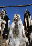 Row of wild animal skins hanging Stock Image