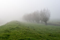 Row of willow rees in a dense fog Stock Images
