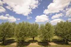 Row of willow trees. In a Dutch park Stock Images