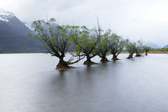A row of willow trees at Glenorchy, New Zealand Royalty Free Stock Image