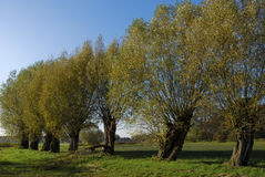 A row of willows Stock Photos