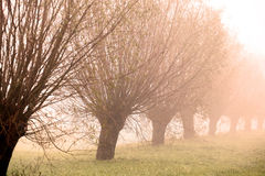 Row of willows. Row of pollarded willows in the early morning sun Royalty Free Stock Photos