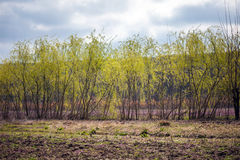 Row of willows Royalty Free Stock Image