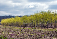 Row of willows Royalty Free Stock Photos