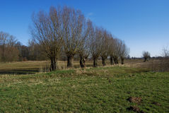 Row of willows in winter Royalty Free Stock Images