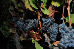 Row of wine grapes at night Stock Images